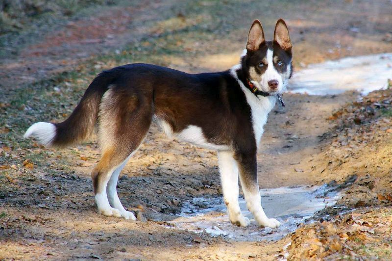 siberian husky border collie mix Quotes
