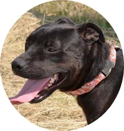 Staffordshire Bull Terrier Mix Seherezade Aus Ungarn