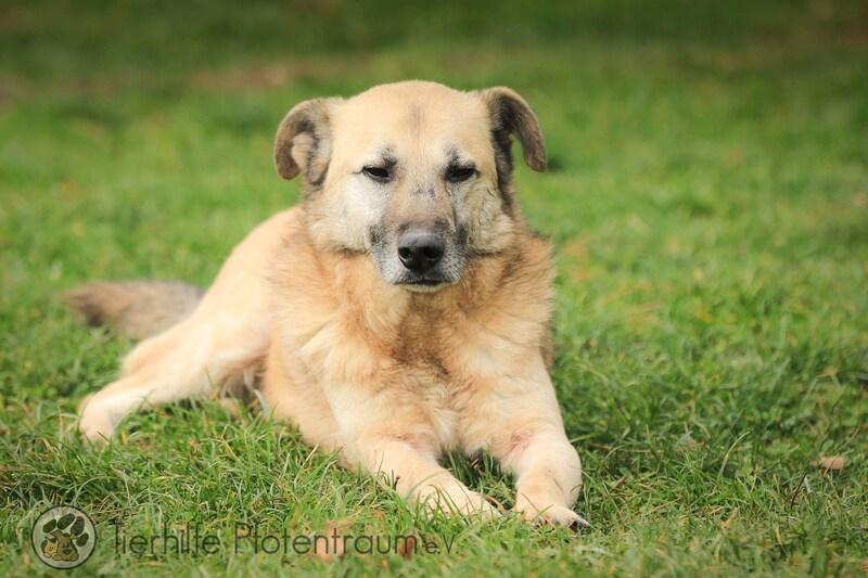 Mischlingshund Teddy Aus Bosnien Und Herzegowina