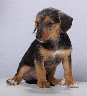 Dackel Terrier Mix Linette Aus Gefrees