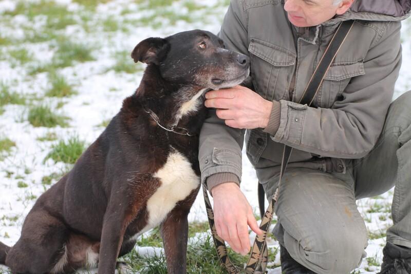 Deutsche doggen labrador mix