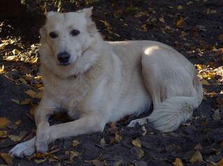 golden retriever schäferhund mix welpe