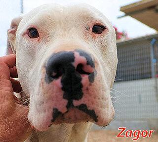 Zagor Dogo Argentino In Italien