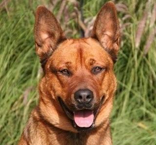 Amber Belgischer Schaferhund Golden Retriever Mix In Spanien
