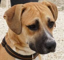 HARPER, Hund, Boxer-Mix in Zypern