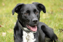 NEO, Hund, Border Collie-Labrador-Mix in Neuhausen - Bild 1