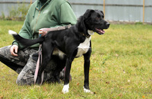 NEO, Hund, Border Collie-Labrador-Mix in Neuhausen - Bild 3
