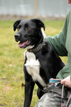 NEO, Hund, Border Collie-Labrador-Mix in Neuhausen - Bild 4