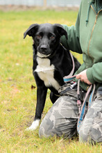 NEO, Hund, Border Collie-Labrador-Mix in Neuhausen - Bild 5