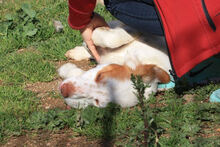 PILO, Hund, Irish Setter-Mix in Italien - Bild 13