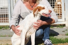 PILO, Hund, Irish Setter-Mix in Italien - Bild 2