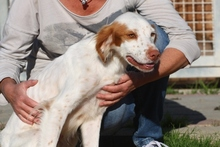 PILO, Hund, Irish Setter-Mix in Italien - Bild 5