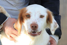 PILO, Hund, Irish Setter-Mix in Italien - Bild 7