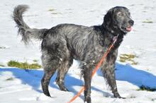 UGO, Hund, English Setter in Wuppertal - Bild 12