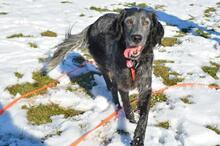 UGO, Hund, English Setter in Wuppertal - Bild 13