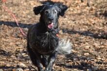 UGO, Hund, English Setter in Wuppertal - Bild 14
