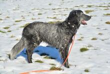 UGO, Hund, English Setter in Wuppertal - Bild 15