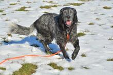 UGO, Hund, English Setter in Wuppertal - Bild 16