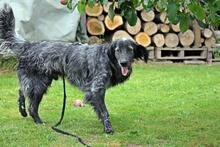 UGO, Hund, English Setter in Wuppertal - Bild 2