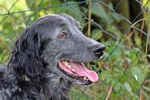 UGO, Hund, English Setter in Wuppertal - Bild 3