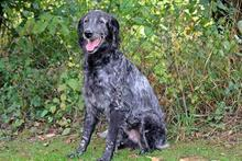 UGO, Hund, English Setter in Wuppertal - Bild 4