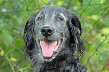 UGO, Hund, English Setter in Wuppertal - Bild 5