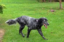 UGO, Hund, English Setter in Wuppertal - Bild 6