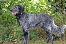 UGO, Hund, English Setter in Wuppertal - Bild 9