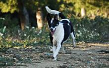 IOLANA, Hund, Podenco-Mix in Spanien - Bild 5