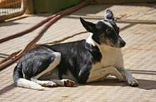 IOLANA, Hund, Podenco-Mix in Spanien - Bild 7