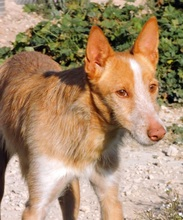 TERRY, Hund, Podenco in Spanien - Bild 1