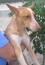 TERRY, Hund, Podenco in Spanien - Bild 10