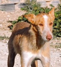 TERRY, Hund, Podenco in Spanien - Bild 2