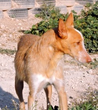 TERRY, Hund, Podenco in Spanien - Bild 3