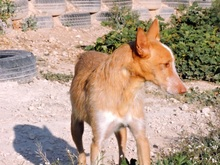 TERRY, Hund, Podenco in Spanien - Bild 4