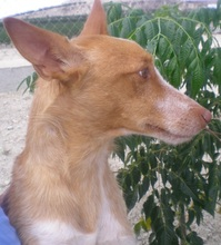 TERRY, Hund, Podenco in Spanien - Bild 5