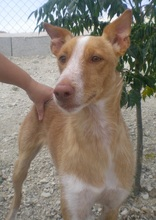 TERRY, Hund, Podenco in Spanien - Bild 6