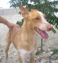 TERRY, Hund, Podenco in Spanien - Bild 7