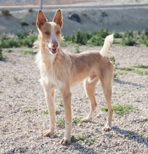 TERRY, Hund, Podenco in Spanien - Bild 9