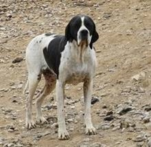 BOMBAY, Hund, Pointer in Spanien - Bild 1