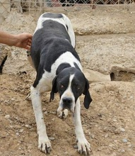 BOMBAY, Hund, Pointer in Spanien - Bild 4