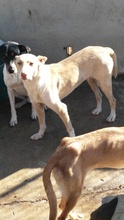 BELINDA, Hund, Podenco-Mix in Spanien - Bild 10