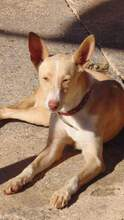 BELINDA, Hund, Podenco-Mix in Spanien - Bild 3