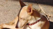 BELINDA, Hund, Podenco-Mix in Spanien - Bild 4