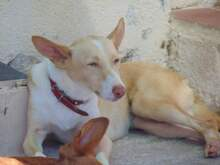 BELINDA, Hund, Podenco-Mix in Spanien - Bild 5