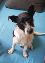 BOLILLO, Hund, Terrier-Mix in Spanien - Bild 1