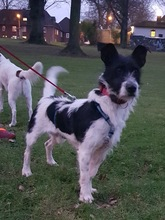 BOLILLO, Hund, Terrier-Mix in Spanien - Bild 3