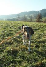 BOB2, Hund, Pointer-Mix in Zypern - Bild 5