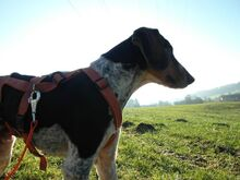 BOB2, Hund, Pointer-Mix in Zypern - Bild 8