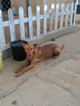 ROBERT, Hund, Podenco in Spanien - Bild 4
